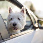 1 de cada 4 españoles reconoce haberse distraído al volante por culpa de su mascota