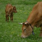 NEIKER-Tecnalia desarrolla un método pionero que permite medir las emisiones de metano de las vacas en el aire exhalado en la eructación