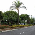 El Ayuntamiento inicia la plantación de más de 200 palmeras  en las céntricas avenidas El Carmen y Juan Carlos I